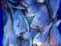 snapper fishing adelaide
